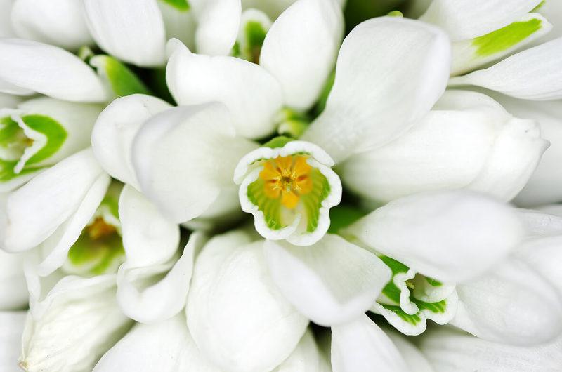 Pro Viotic enthält, einen speziellen L. bulgaricus-Stamm (GLB 44), der normalerweise Schneeglöckchen besiedelt.